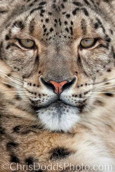 The Beauty of Wildlife — Snow Leopard Portrait Pretty Cats, Beautiful Cats, Animals Beautiful, Cute Animals, Wild Animals, Baby Animals, Big Cats, Cool Cats, Gato Grande