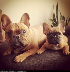 2 French Bulldogs.
