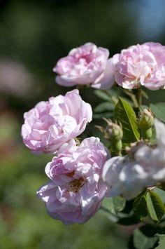 Buskros 'Maiden's Blush'. Älskar gammeldags rosenbuskar.