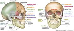 a human skull (lateral view) - Google Search