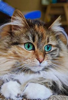 Only a handful of situations cannot be improved by cats in life. Traveling around the world can be a wonderful experience for Fluffy Kittens, Cute Cats And Kittens, Baby Cats, Cool Cats, Baby Kitty, Pretty Cats, Beautiful Cats, Animals Beautiful, Animals And Pets