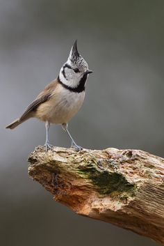 Crested Tit (Lophophanes cristatus) or simply crested tit, is a passerine bird in the tit family Paridae. It is a widespread and common resident breeder in coniferous forests throughout central and northern Europe .