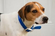 Bella is an adoptable Hound Dog in Prince Frederick, MD. Name: Bella Disability: 3 legged Breed/Weight: Hound Mix, approx 40 lbs  History: Bella was a stray found with her litter of pups by a kind hea...