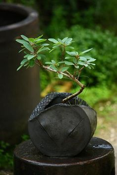 Bonsai 盆栽 ❖❣❖✿ღ✿ ॐ ☀️☀️☀️ ✿⊱✦★ ♥ ♡༺✿ ☾♡ ♥ ♫ La-la-la Bonne vie ♪ ♥❀ ♢♦ ♡ ❊ ** Have a Nice Day! ** ❊ ღ‿ ❀♥ ~ Sun Sep 2015 ~ ~ ❤♡༻ ☆༺❀ . Bonsai Art, Bonsai Plants, Bonsai Garden, Garden Plants, House Plants, Bonsai Trees, Air Plants, Cactus Plants, Ikebana