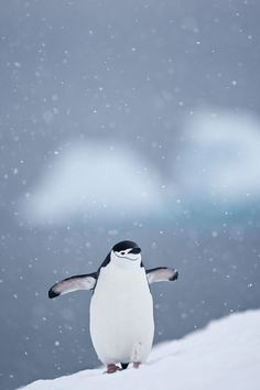 Chinstrap Penguin, Half Moon Island, Shetlands, Antarctica!