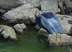 Great Blue Heron at Dillon Dam