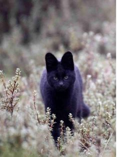 Melanistic Serval coolest cats ever. Gato Serval, Margay Cat, I Love Cats, Crazy Cats, Beautiful Cats, Animals Beautiful, Melanistic Animals, Gato Grande, Rare Animals