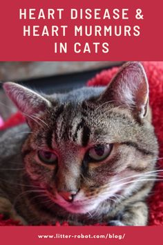 Heart Disease & Heart Murmurs in Cats | Litter-Robot Blog Signs Of Heart Disease, Types Of Heart Disease, What Is A Heart, Ventricular Septal Defect, Litter Robot, Pulmonary Edema, Parts Of The Heart, Heart Murmur, Heart Month