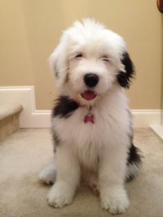 24 Best Old English Sheepdogs images in 2016 | Old english