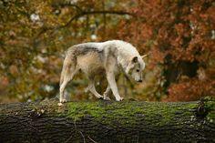 A wolf walking along a fallen tree on a crisp autumn day!