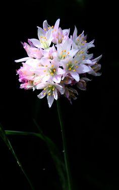 Rosy Garlic [Allium roseum] flowering by the roadside at Villa Celiera, Abruzzo [image taken Allium, Shelter, Garlic, Villa, Plants, Image, Flowers, Plant, Fork