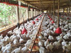 Por dentro da produção da Korin: a saga do frango continua | Gastrolândia – por…