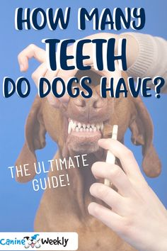 In this ultimate guide to doggy dentistry we'll be exploring and answering the following questions so that we can keep our dogs healthy and happy for a great quality of life. Over time, you spend a lot of time with your dog and want to know as much as possible about them. Have you ever wondered how many teeth dogs have? #dogs #dogfacts #allaboutdogs #dogteeth