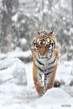 Winter of the Tiger.