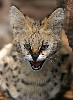 little serval cat (by AnyMotion) Animals Of The World, Animals And Pets, Cute Animals, Beautiful Cats, Animals Beautiful, Kittens Cutest, Cute Cats, African Wild Cat, Domestic Cat Breeds