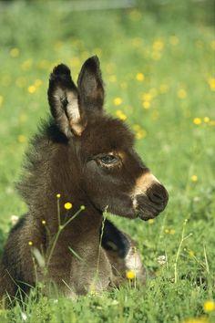 Sweet baby donkey relaxing in the field...<3