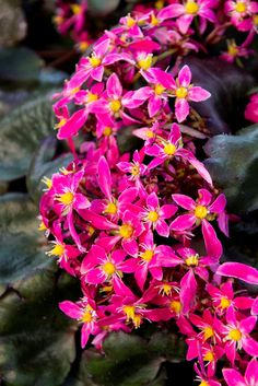 Put your shades on, this Berry Bright™ Saxifrage is stunning!