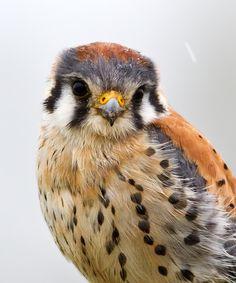 An American Kestrel - aka Sparrow hawk - but they are falcons, not hawks. The only kestrel found in the Americas. Pretty Birds, Beautiful Birds, Animals Beautiful, Cute Animals, All Birds, Birds Of Prey, Love Birds, Rapace Diurne, Regard Animal