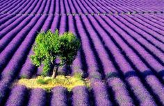 I love lavender fields