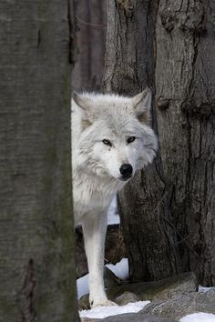 """Wolves fear humans for good reason. Humans  fear wolves out of misunderstanding.""  -Jogn Theberge"