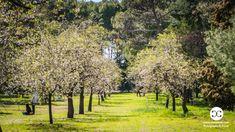 Digital Product Thumbnail - Spring in Madrid at Quinta de Molinos Almonds Park