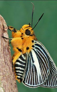 Pale Green Awlet (Burara gomata, Coeliadinae, Hesperiidae) - Small Green Awlet (Burara (formerly Bibasis) amara). Cute little moth. Cool Insects, Bugs And Insects, Beautiful Creatures, Animals Beautiful, Cute Animals, Wild Animals, Nature Animals, Beautiful Bugs, Beautiful Butterflies