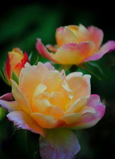 Joseph's Coat Rose