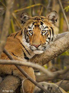 Tiger Cub  Photo by Tejas Soni on 500PX