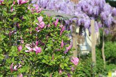 mon magnolia