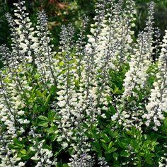 Indigo Wild White Flower Seeds (Baptisia Australis) 30+Seeds - Under The Sun Seeds - 2