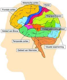 De hersenen zijn onderdeel van de vitale functies
