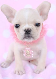 "Gorgeous French Bulldog ""Frenchie"" Puppy For Sale in South Flordia"
