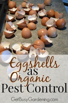 Start collecting eggshells to kill all those nasty garden pests this summer. Say what? That's right, crushed eggshells can be used as an organic pesticide. Crushed eggshells get under the hard shells of beetles, and acts like bits of glass to cut them up and kill them. You can't beat free organic pest control.