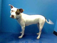 LEA is an adoptable Pit Bull Terrier Dog in Brooklyn, NY.  ...