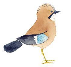 Matt Sewell » Blog Archive » Bird of the week – The Jay