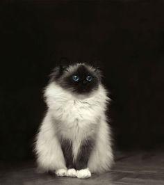 un chat à poil long tro mignon (1)