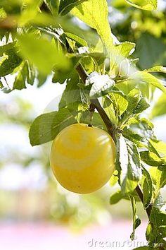 mirabelle plum Grown as a specialty in Lorraine. Makes fabulous tartes and eau-de-vie (Brandy)