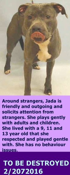 GONE 2-20-2016  --- Manhattan Center  My name is JADA. My Animal ID # is A1065219. I am a female gray and white am pit bull ter mix. The shelter thinks I am about 2 YEARS  I came in the shelter as a OWNER SUR on 02/16/2016 from NY 10458, owner surrender reason stated was NO TIME. http://nycdogs.urgentpodr.org/jada-a1065219/