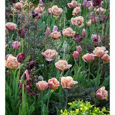 Sarah Raven - Blackberry Smoke Tulip Collection This collection contains 10 or 20 bulbs each of: Tulip 'Mistress Grey' Tulip 'La Belle Epoque' Tulip 'Black Parrot' Tulips Garden, Garden Bulbs, Pink Garden, Tropical Garden, Perennial Bulbs, Hardy Perennials, Exotic Flowers, Amazing Flowers, Belle Epoque