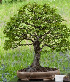 Bonsai styles are different ways of training your bonsai to grow the way you want it to. Get acquainted with these styles which are the basis of bonsai art. Pond Plants, Bonsai Plants, Bonsai Garden, Live Aquarium, Planted Aquarium, Silver Fir, Pre Bonsai, Popular Tree, Gardens