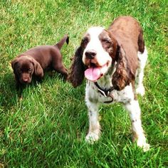 """My name is """"The Bear"""" I am a Chocolate Lab born on July There is a lot that you folks could learn from me so SIT and STAY a while and enjoy the wit and wisdom (and cuteness) of my journey from puppyhood to greatness. Hero, Cute, Blog, Animals, Animales, Animaux, Kawaii, Blogging, Animal"""