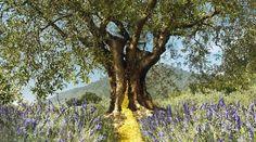 Tree of life - olive tree Olive Tree, Apothecary Jars, Travel Memories, Tree Of Life, Blue Flowers, Trees, Nature, Plants, Olives