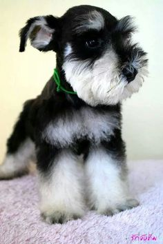 OMG!!! This mini schnauzer puppy has to be the cutest puppy I have ever seen, I WANT❤️