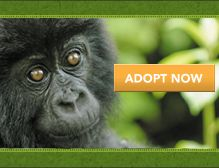 Helping People. Saving Gorillas. - The Dian Fossey Gorilla Fund International