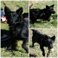 21523 Schipperke Mix • Adult • Male • Small Midwest City Animal Welfare Midwest City, OK