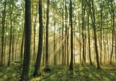 Forest in the Morning