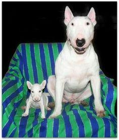 bull terrier   Bull Terriers