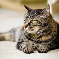 Los gatos tienen 100 cuerdas vocales, lo que les permite hacer cerca de 100 sonidos o vocalizaciones distintas.  #PetsWorldMagazine #RevistaDeMascotas