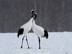 red crowned crane, japanese crane