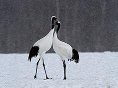 red crowned crane, japanese crane